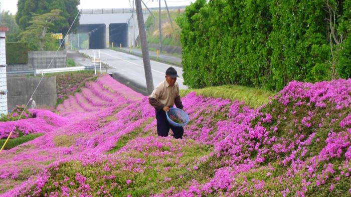 husband plants flowers blind wife kuroki shintomi 10 700x394 1 - Marido passou anos plantando milhares de flores para sua esposa cega