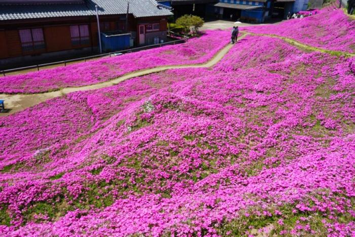 husband plants flowers blind wife kuroki shintomi 17 700x468 1 - Marido passou anos plantando milhares de flores para sua esposa cega