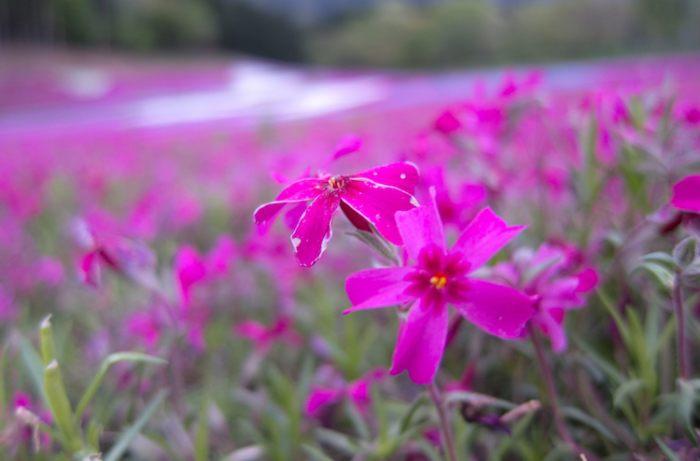 shibazakura cc Kuruman 700x461 1 - Marido passou anos plantando milhares de flores para sua esposa cega