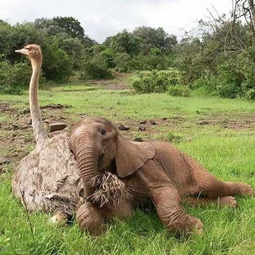 14641900 684609605037296 6823310946162395047 n - Mãe é quem cria: essa avestruz e seu filhote elefante não deixam dúvidas