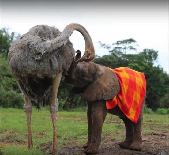 59685491 442524616494505 2142724514998386688 n - Mãe é quem cria: essa avestruz e seu filhote elefante não deixam dúvidas