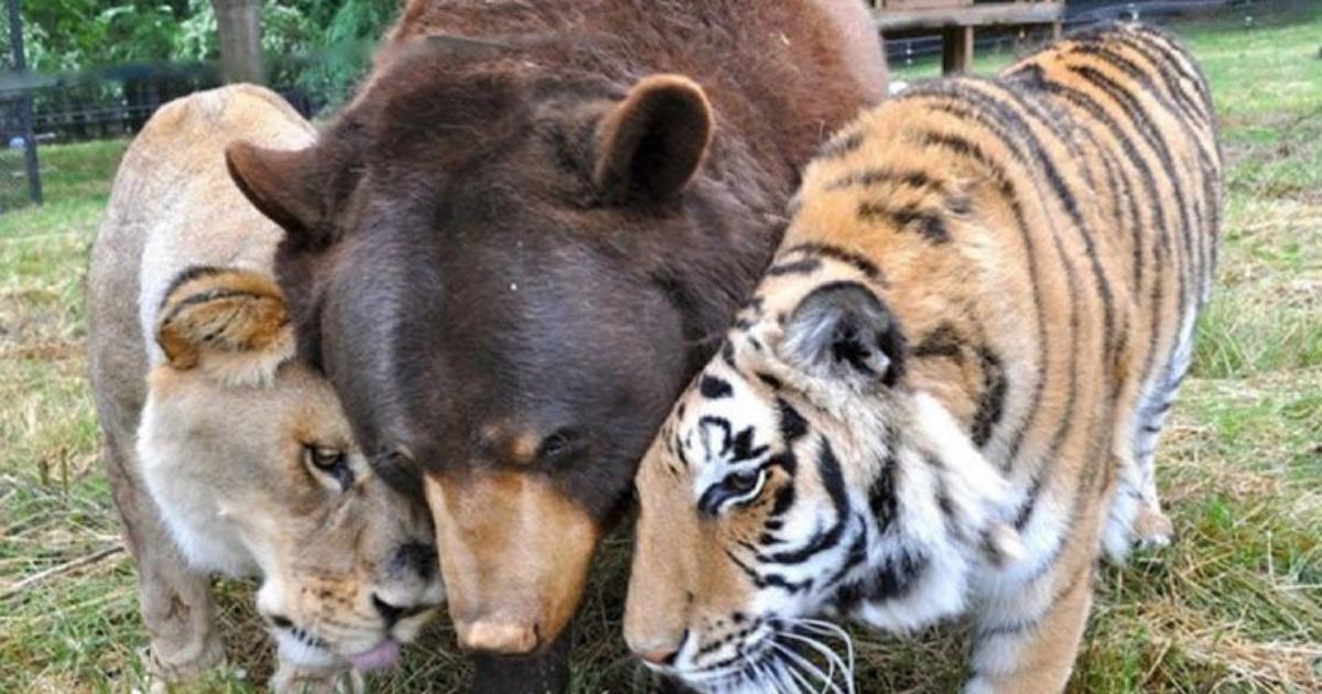 Design sem nome 29 3 - Urso, leão e tigre nunca se encontrariam na natureza , mas neste lugar eles vivem juntos a 15 anos