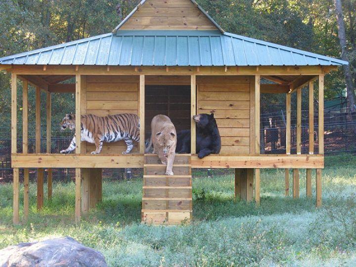 img 1 - Urso, leão e tigre nunca se encontrariam na natureza , mas neste lugar eles vivem juntos a 15 anos
