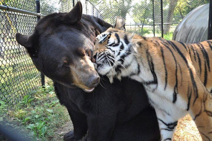 img 3 - Urso, leão e tigre nunca se encontrariam na natureza , mas neste lugar eles vivem juntos a 15 anos