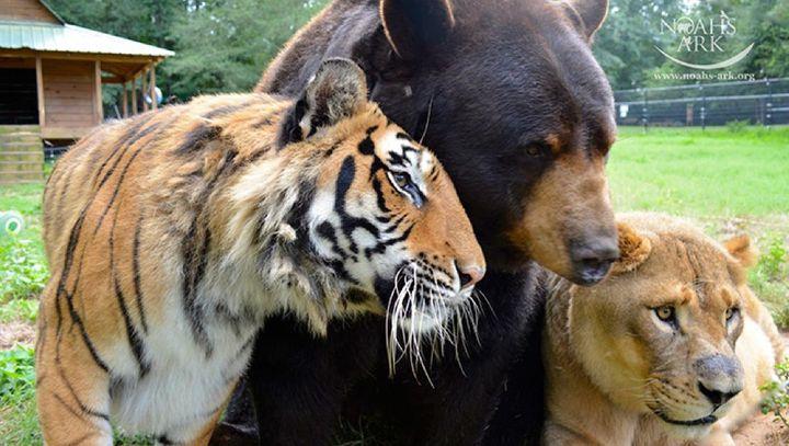 img 4 - Urso, leão e tigre nunca se encontrariam na natureza , mas neste lugar eles vivem juntos a 15 anos