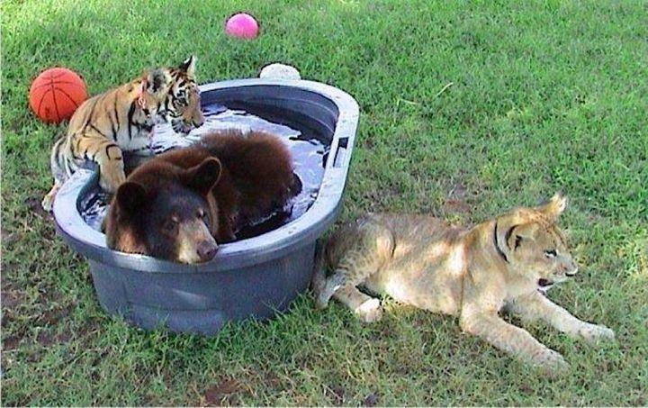 img 5 - Urso, leão e tigre nunca se encontrariam na natureza , mas neste lugar eles vivem juntos a 15 anos