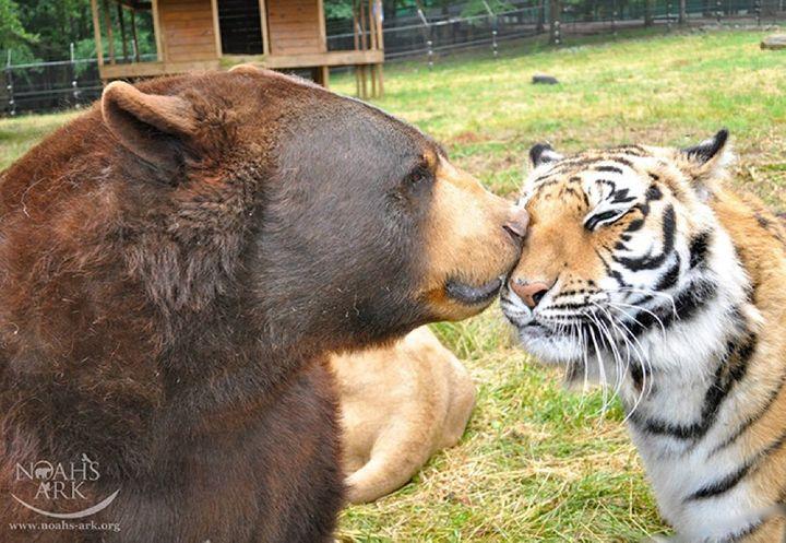 img - Urso, leão e tigre nunca se encontrariam na natureza , mas neste lugar eles vivem juntos a 15 anos