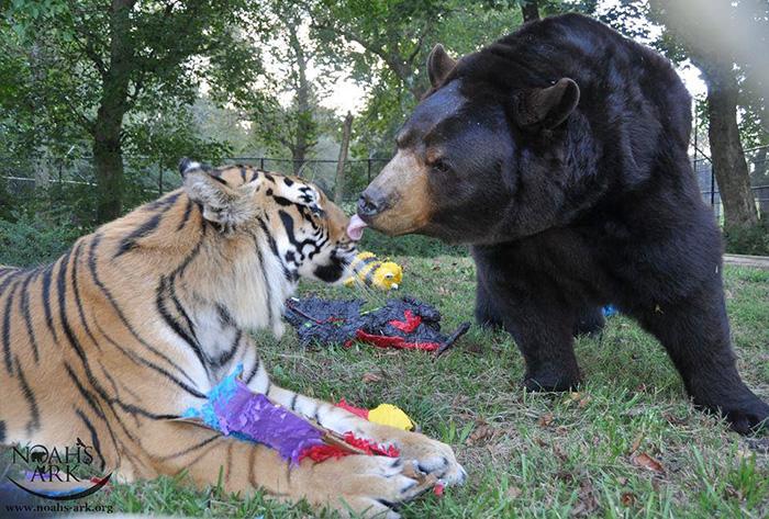 lion tiger bear unusual friendship animal shelter georgia 14 - Urso, leão e tigre nunca se encontrariam na natureza , mas neste lugar eles vivem juntos a 15 anos